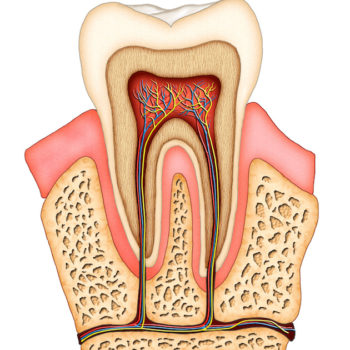 Section of a molar showing its internal structure. Digital illustration.